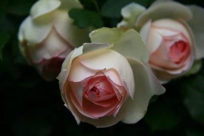 Holly Koffler - Roses